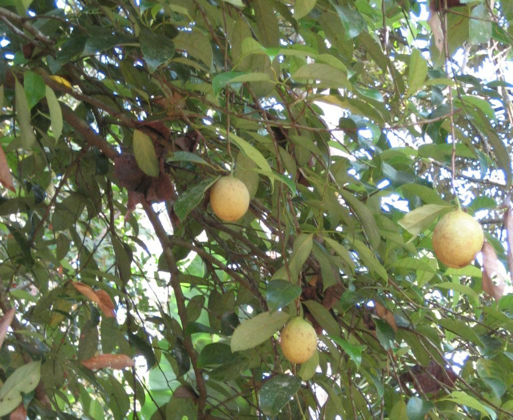 Yksi muskottipuu tuottaa noin 1000 hedelmää vuodessa 30-70 vuoden ajan. Se kasvaa tyypillisesti 12-18 metrin pituiseksi. Kuva: Marc, Flickr, CC.