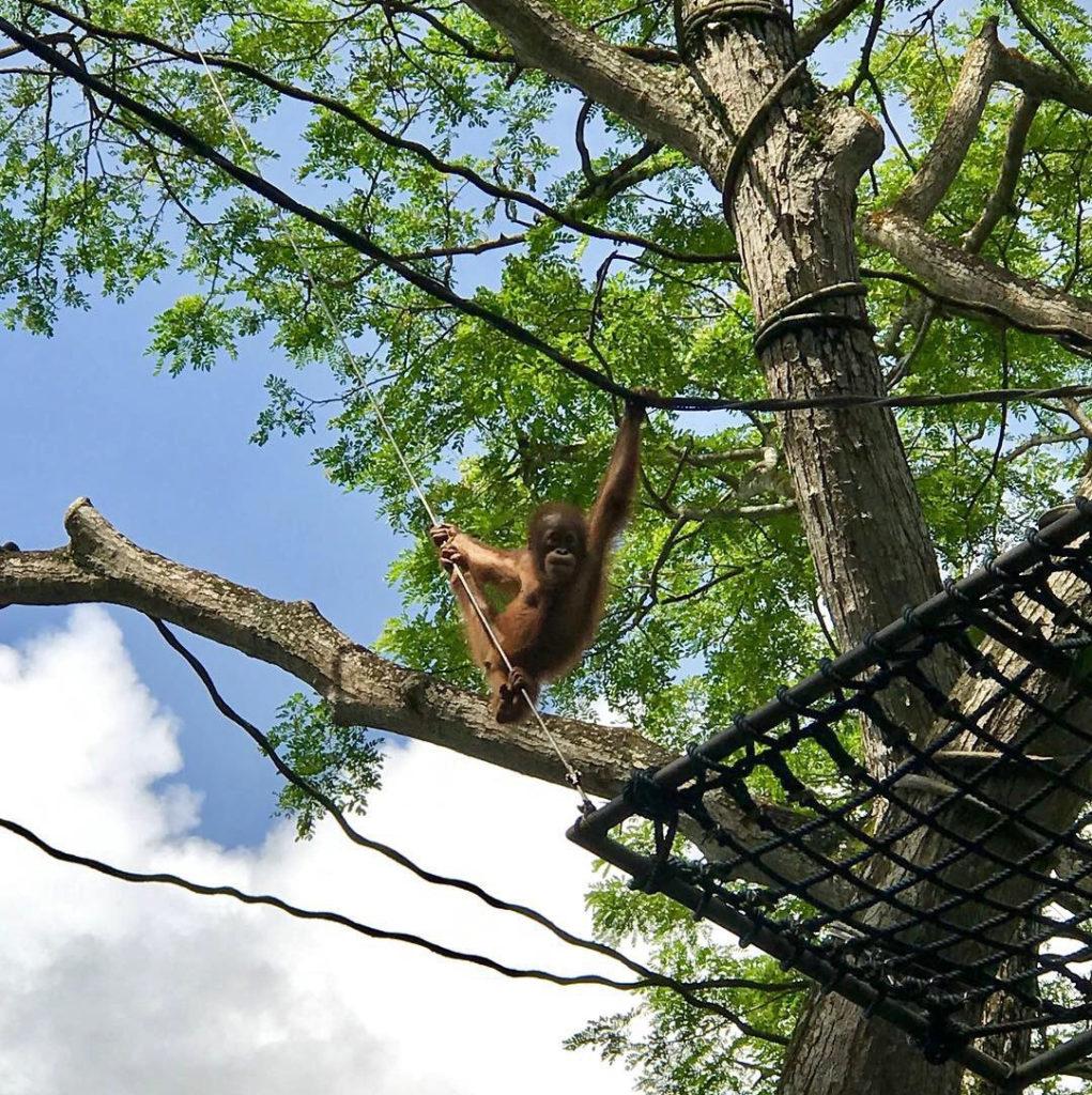 Kiipeilevätkö orangit tulevaisuudessa vain Singaporen eläintarhassa? Kuva: Anna Korpi.