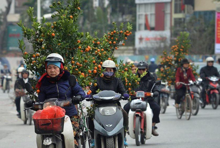 Tet-juhlan aikaan liikenne täyttyy pyörien päälle tasapainotelluista kumkvatti-puista. Kuva: Thanh Nien News.