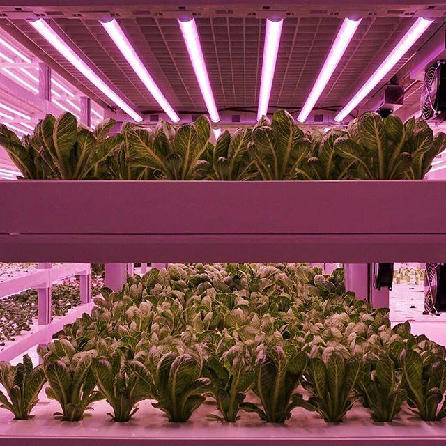 Tulevaisuuden viljely tulee näyttämään tältä, ainakin Singaporessa. Kuva: Hydro Urban