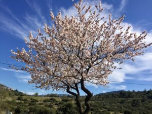 Hedelmäpuut kukkivat keväällä.
