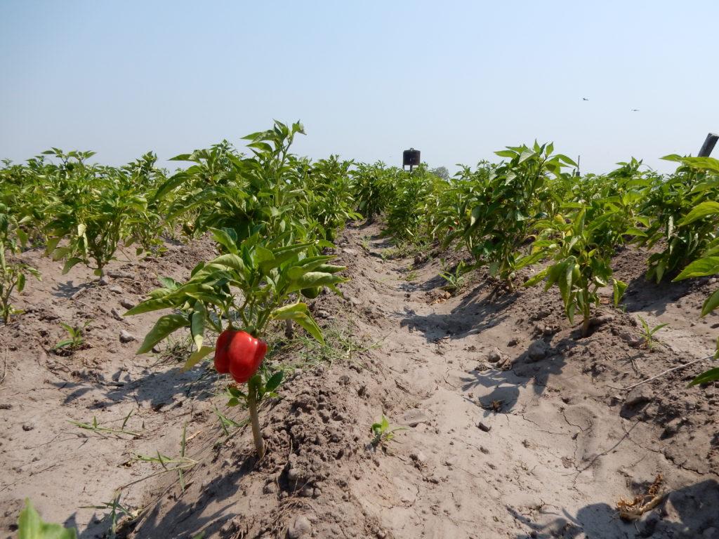 Kastelujärjestelmän avulla saadaan paprikat kasvamaan. Kuva: Jaakko Jakkila.