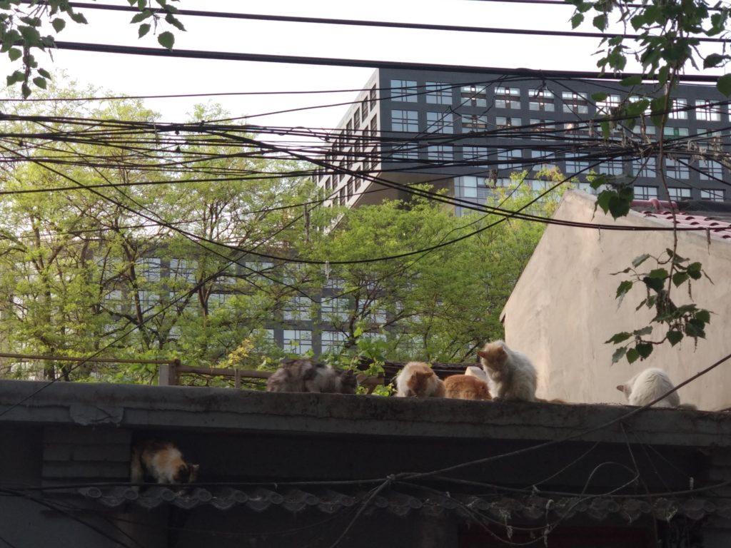 Pekingissä kissojen näkee vaeltavan etenkin hutong-kujilla. Kuva: Mika-Matti Taskinen