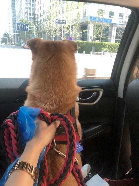 Sekarotuinen koira katsoo auon ikkunasta ulos. Koira on kiinni hihnalla, jota pitää ihmisen käsi.