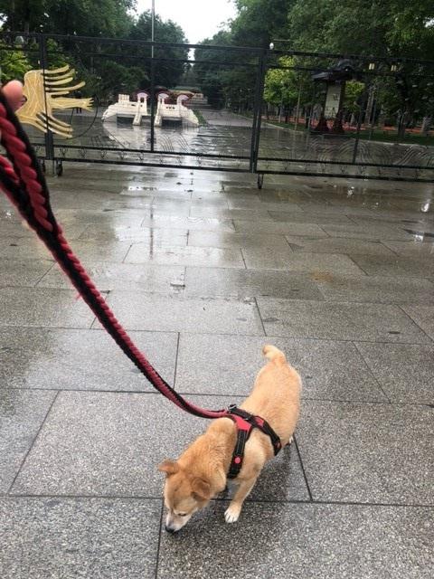 Sekarotuinen pieni koira talutushihnassa kadulla. Kadun pinta on märkä.