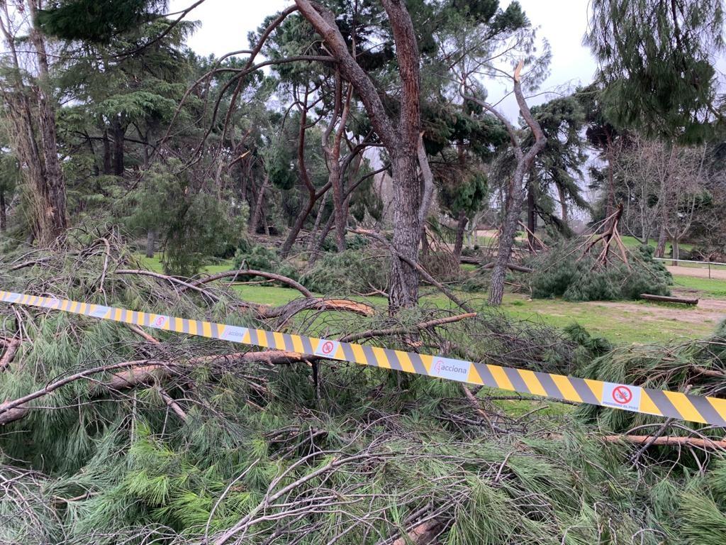 Filomena vahingoitti yli 60 %:a Madridin puistojen puustosta. Kuva: Akseli Peltola