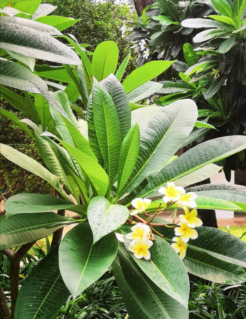New Delhin kasvit ja kukat loistavat runsaslukuisina ilmansaasteista huolimatta. Kaupungin vehreydestä pidetään tarkasti huolta, ja esimerkiksi puunkaato on tarkasti luvanvaraista. Kuva: Nelli Mikkola