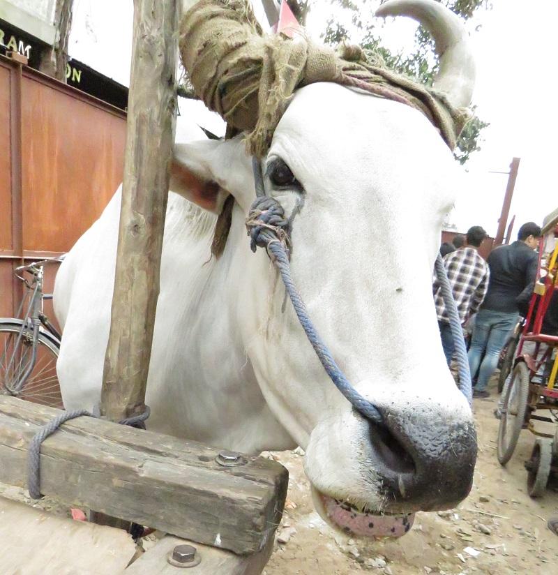 Chandni Chowkissa viihtyvät reissaajien ja paikallisten lisäksi myös lehmät. Kuva: Ville Ikävalko.
