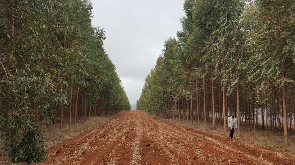 Kolmevuotias eukalyptusmetsikkö Tansaniassa. Kuva: PFP/Sangito Sumari