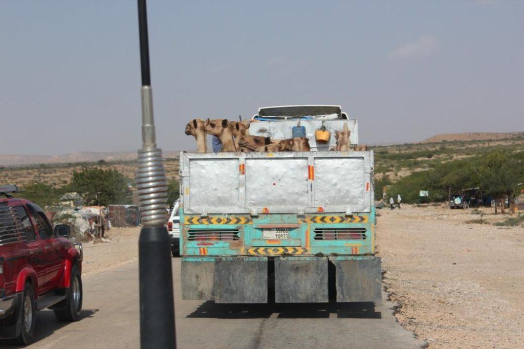 Somalimaassa paimentolaisina elävät kamelinkasvattajat tarkastavat päivän hinnan matkapuhelimillaan ja osaavat ajoittaa eläinten myynnin hintojen mukaan. Kuva: Matti Karvanen