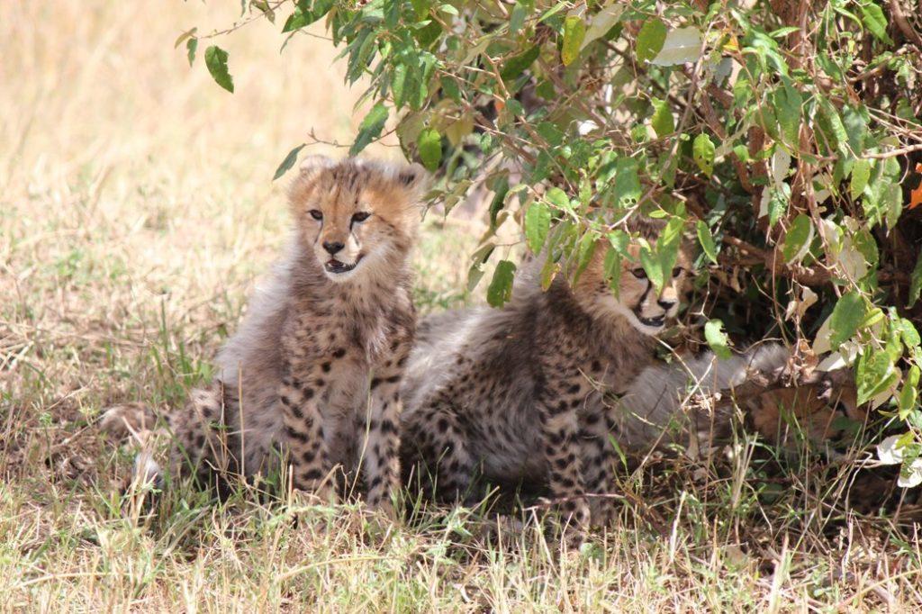Afrikan luonto näyttää parasta puoltaan Kenian Maasai Marassa gepardivauvojen muodossa. Kuva: Matti Karvanen