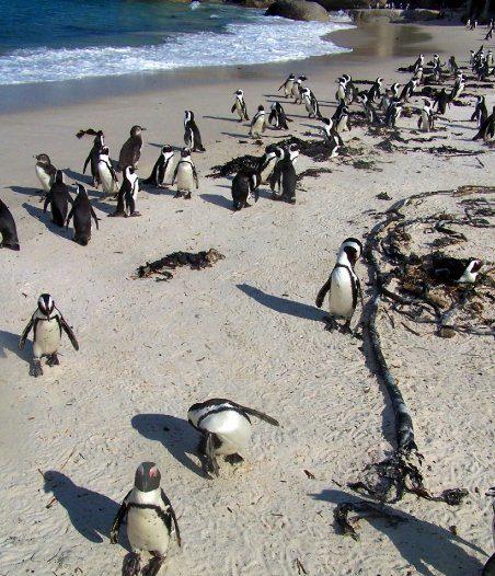 Afrikka on kontrastien maanosa myös luonnon puolesta. Saharan ja Kalaharin autiomaiden vastapainoksi Etelä-Afrikasta voi löytää pingviinejä. Kuva: Matti Karvanen