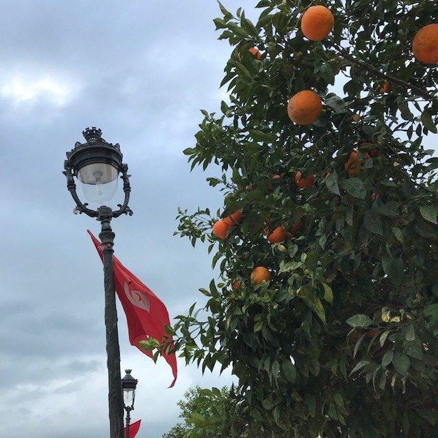 Tammikuisessa Tunisissa työpäiviä voi makeuttaa appelsiinipuiden alla. Syömäkelpoisuus on toinen kysymys. Kuva: Laura Saarinen