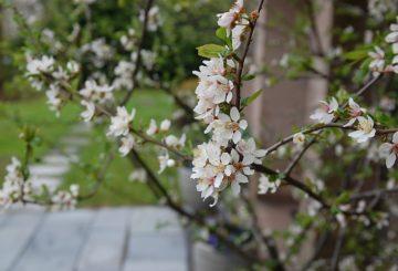 Suurlähetystön luumupuu kukkii huhtikuun lopussa. Kuva: Christian Tikkanen