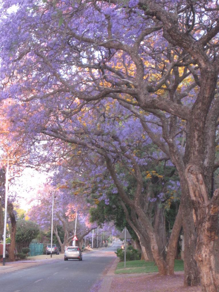 Jakarandakaupunki Pretoria näyttää parastaan lokakuussa, kun tuhannet puut kukkivat. Kuva: Sanna Leminen.