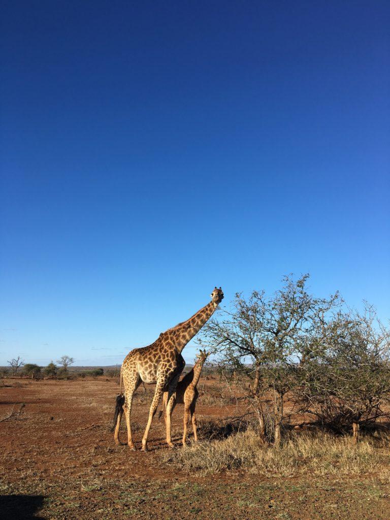 Kirahvit Krugerin luonnonpuiston savannilla. Kuva: Anna Lilja