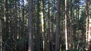 Tyypillinen otos kanadalaisesta metsästä. Harvennukselle olisi tarvetta.