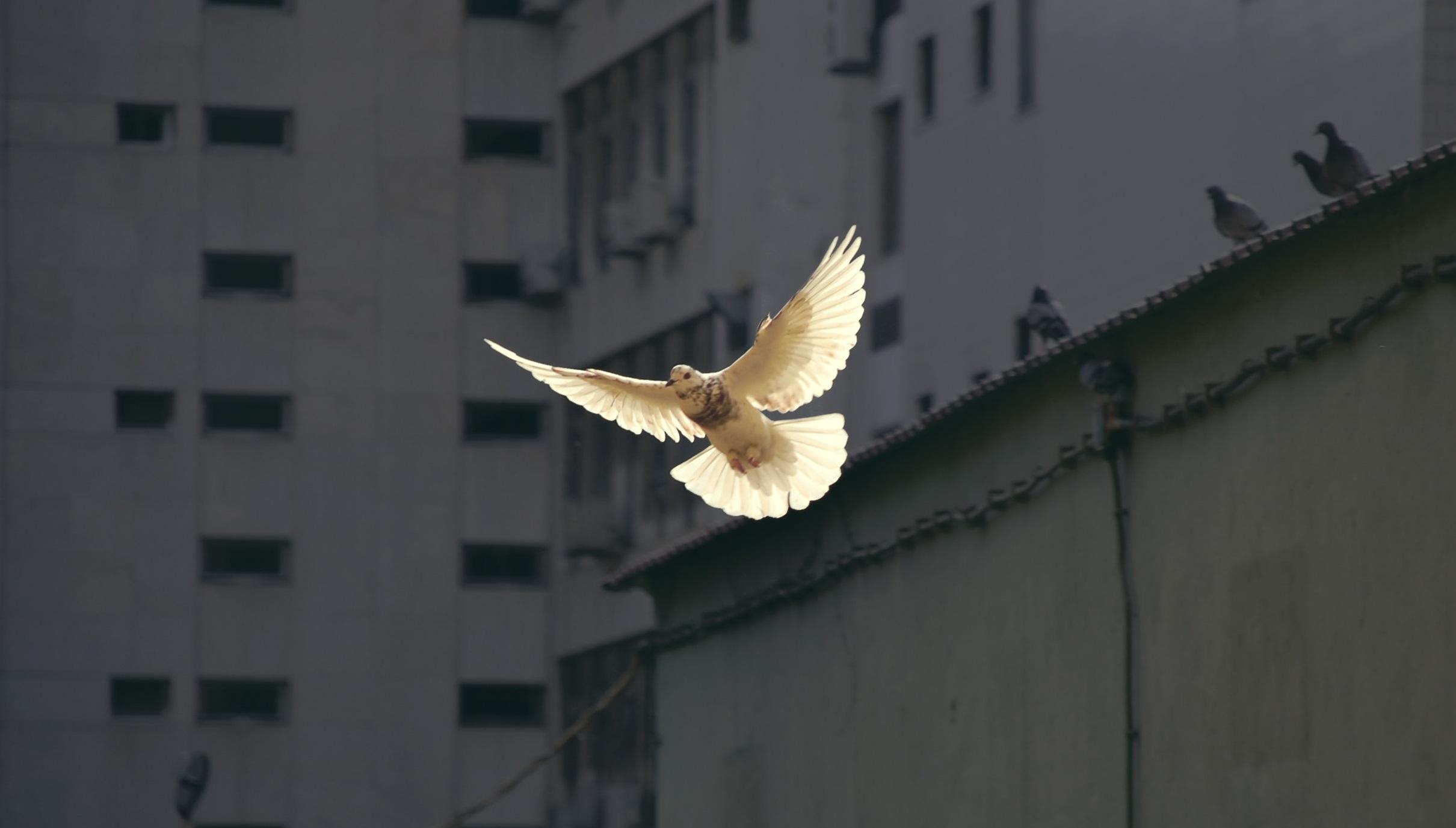 Kyyhky on yksi rauhan symboleista.Kuvassa lentävään valkoiseen kyyhkyyn osuu auringonvalo, taustalla harmaa rakennus.